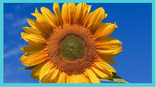 Using Sunflower Petals in Rituals and Magic