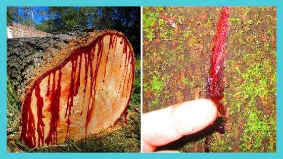 Dragons Blood Used as Antimicrobial
