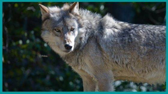 Connection of Amarok with Celtic wolves