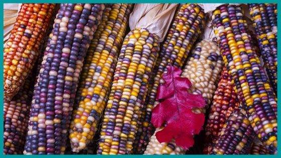 Folklore associated with the Ears of Corn
