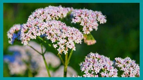 Protection herbs for eliminating Anxiety