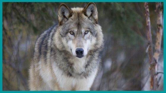 Tale about Wolves Mothers