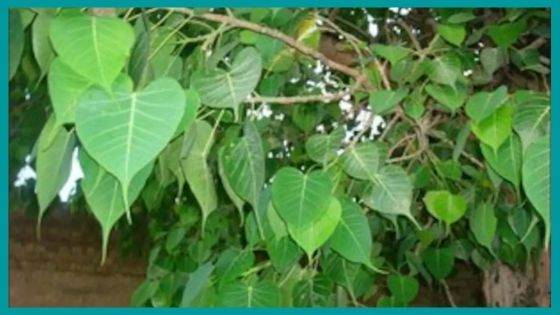 What are the Health Benefits from Peepal Tree?