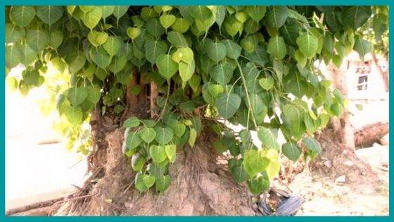 What is the Appearance of the Peepal tree looks like?