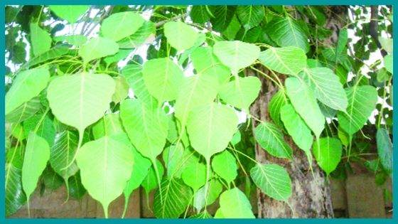 What is the Scientific Significance of the Peepal Tree?