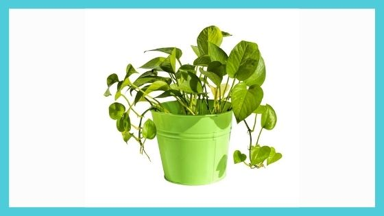Taking Care of Money Plant