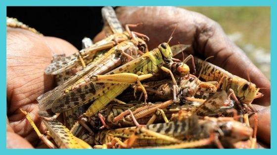 Relationship with Locusts